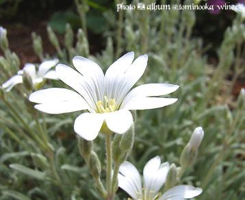 シロミミナグサ(白耳菜草)