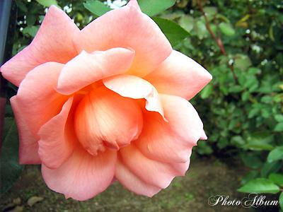 ザンブラ '93:バラ(薔薇)