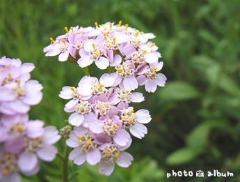 セイヨウノコギリソウ(西洋鋸草)