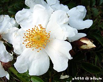 テリハノイバラ(照葉野薔薇)