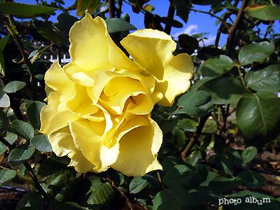 インカ:バラ(薔薇)