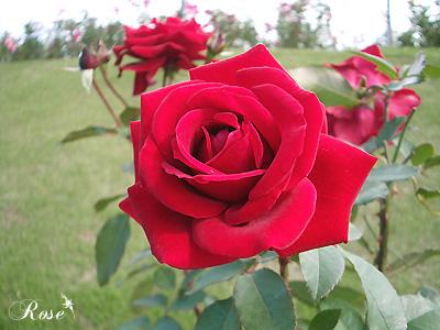 ガルテンツァウバー'84:バラ(薔薇)