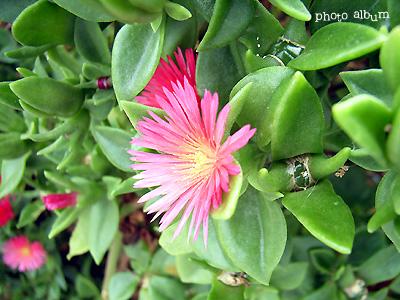 ハナヅルソウ(花蔓草)