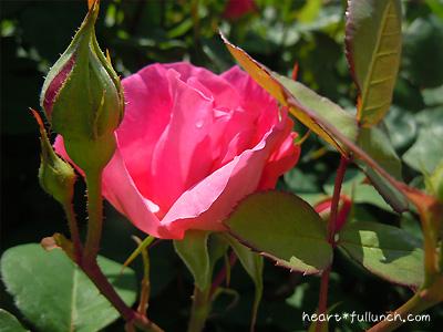 ソフィーズ ローズ:バラ(薔薇)