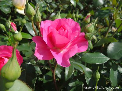 うらら: バラ(薔薇)