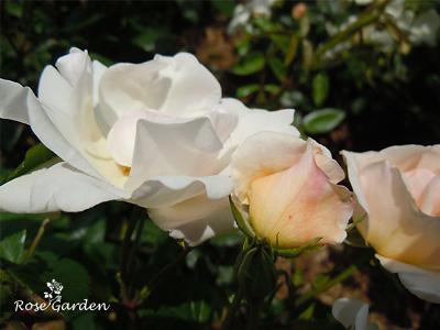 エルフ:バラ(薔薇)