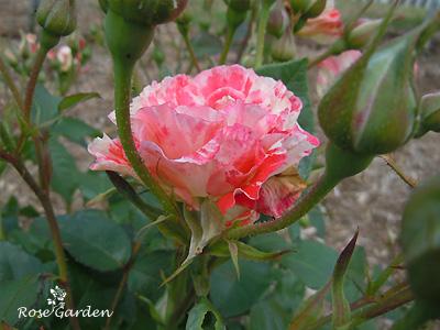 オレンジ スプラッシュ:バラ(薔薇)