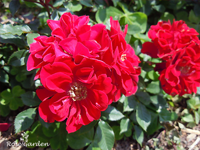 スカーレット メイアンディナ:バラ(薔薇)