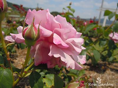 シャルル ド ゴール:バラ(薔薇)