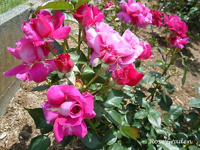 イントゥリーグ:バラ(薔薇)