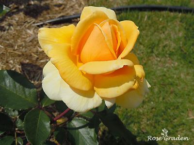 クッパーケニギン:バラ(薔薇)