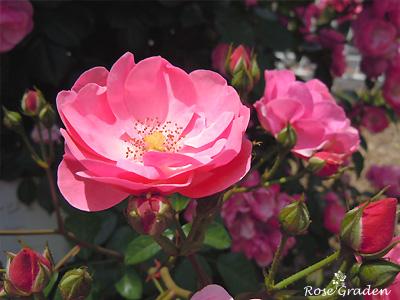 アンジェラ:バラ(薔薇)