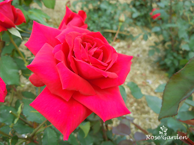 エナ ハークネス:バラ(薔薇)