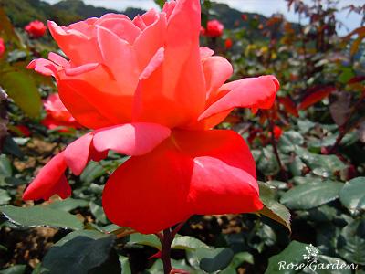 カトリーヌ ドヌーヴ :バラ(薔薇)