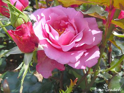 ショッキング ブルー:バラ(薔薇)