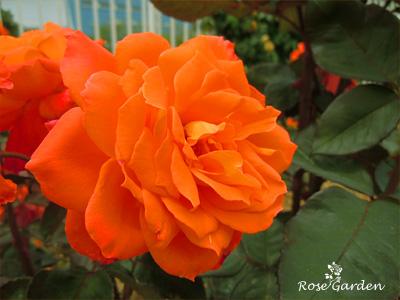 近衛:バラ(薔薇)
