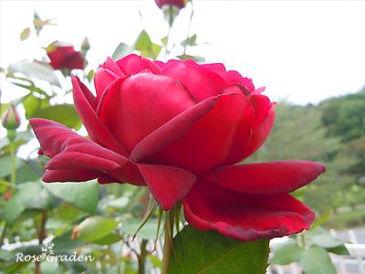 オクラホマ:バラ(薔薇)