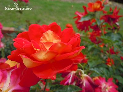 かがやき:バラ(薔薇)