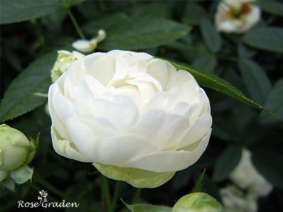 シュネープリンセス:バラ(薔薇)