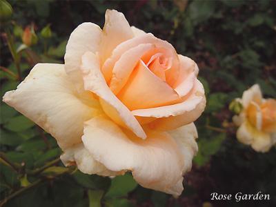 アプリコット ネクター:バラ(薔薇)