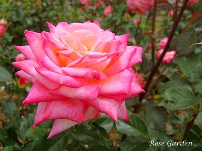 コルデス パーフェクタ:バラ(薔薇)