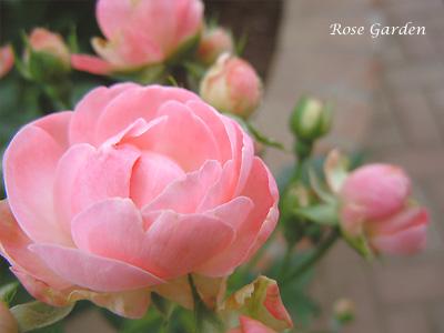 マルゴ コスター:バラ(薔薇)