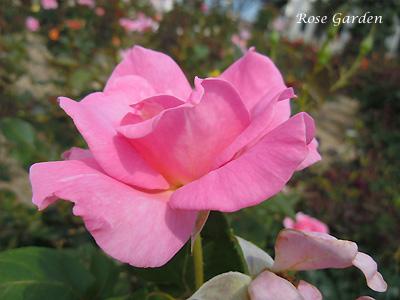 エレガント ストーク:バラ(薔薇)