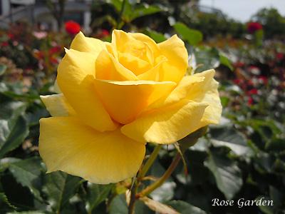 サン フレーア:バラ(薔薇)