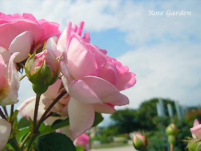 ジャスミーナ:バラ(薔薇)