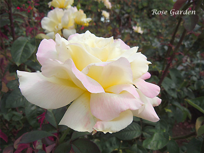 ガーデン パーティ:バラ(薔薇)
