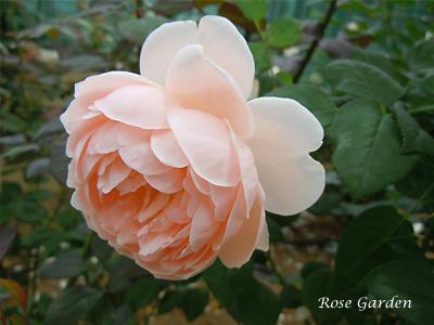 イレーヌ ワッツ:バラ(薔薇)