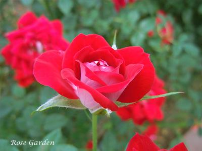 ショートケーキ:バラ(薔薇)