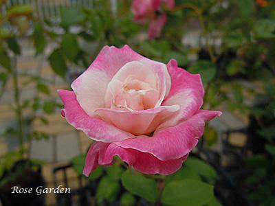 オメール:バラ(薔薇)