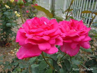 キャンディ ストライプ:バラ(薔薇)