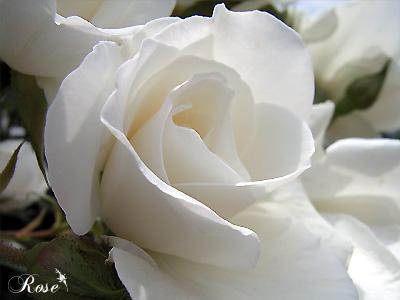 アイスバーグ:バラ(薔薇)