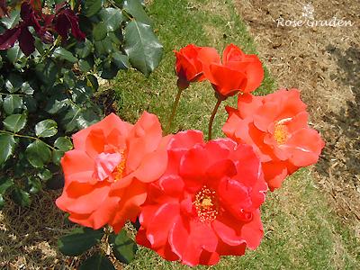 オレンジ シルク:バラ(薔薇)