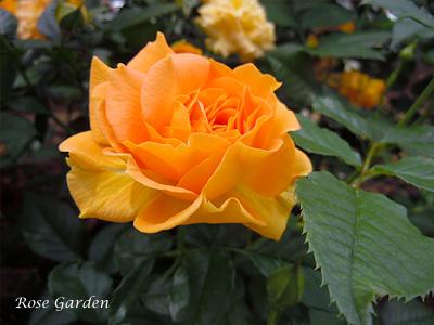 ゴルデルゼ:バラ(薔薇)
