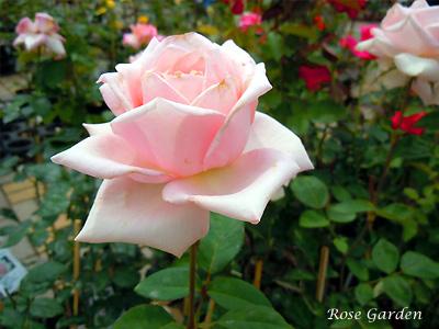 メルヘンケニギン:バラ(薔薇)
