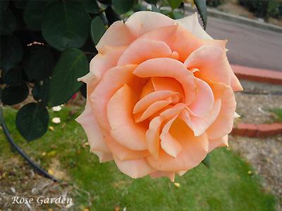 マリリン モンロー:バラ(薔薇)
