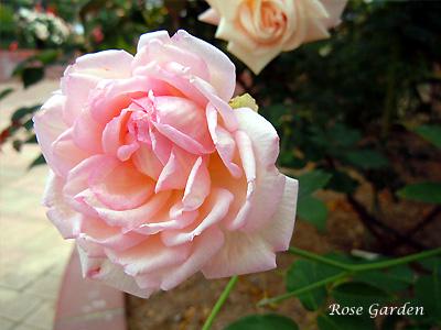 デュシェス ドゥ ブラバン:バラ(薔薇)