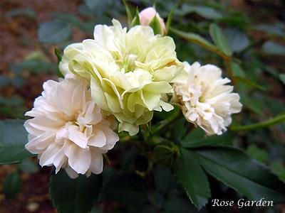 グリーン アイス:バラ(薔薇)