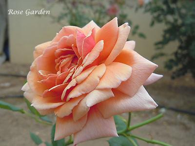 トム ブラウン:バラ(薔薇)