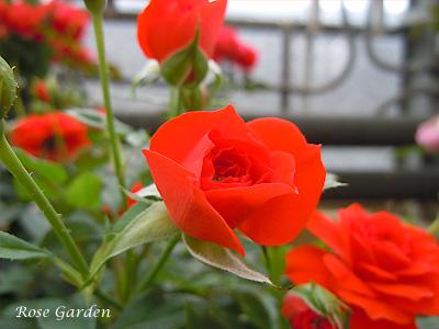 オレンジ メイアンディナ:バラ(薔薇)