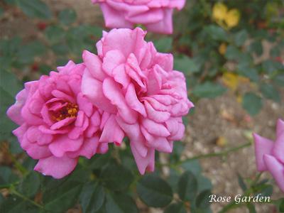 ラベンダー メイアンディナ:バラ(薔薇)