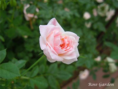 エアー フランス メイアンディナ:バラ(薔薇)