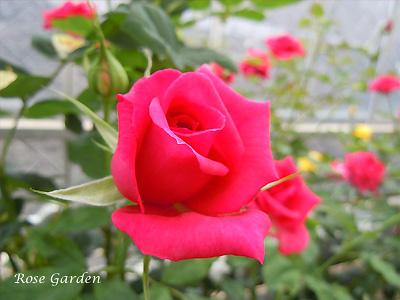 レッド ミニモ:バラ(薔薇)