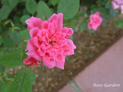 ロージー ミニモ:バラ(薔薇)