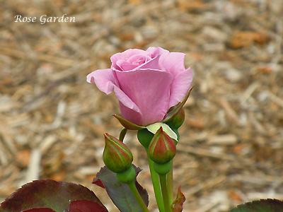 たそがれ:バラ(薔薇)