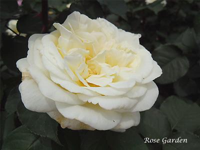 ロイヤル プリンセス:バラ(薔薇)