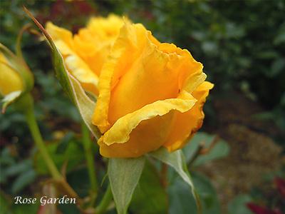 ドフトゴールド:バラ(薔薇)